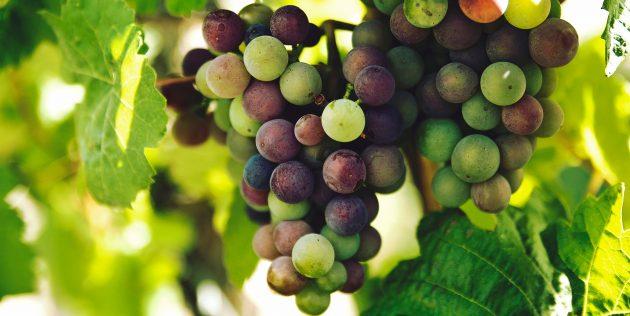 як вибирати виноград