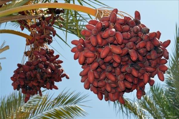 Як ростуть фінікові плоди