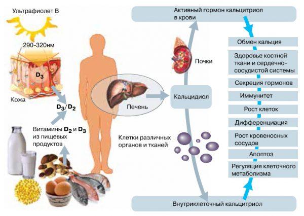 Вітамін Д в організмі людини