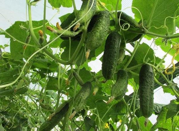 як вирощувати огірки в теплиці