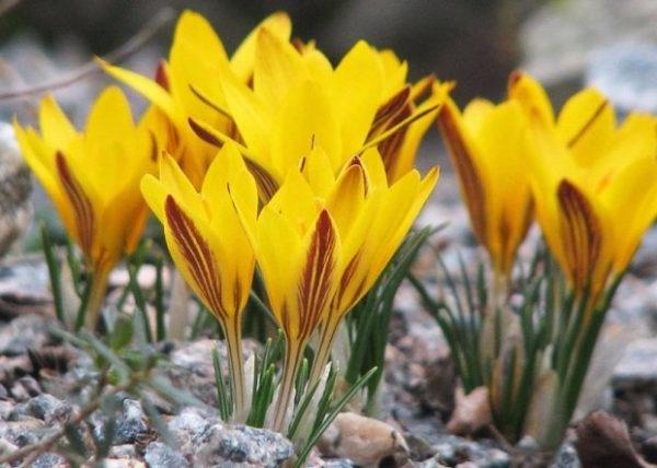 шафран жовтий