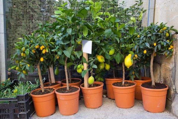 як виростити лимон