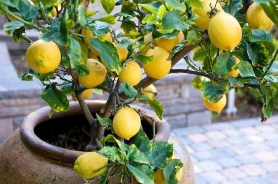як виростити лимон вдома
