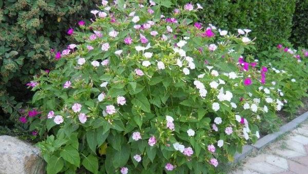 квіти нічна красуня