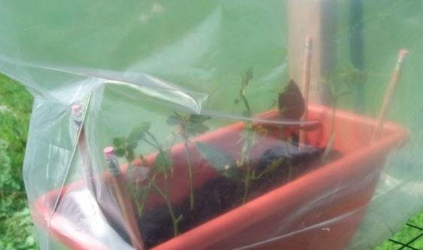 вирощування троянд в теплиці