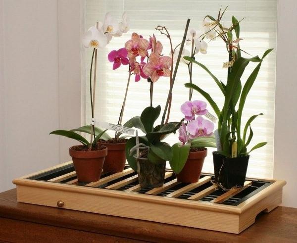 Орхідея Фаленопсіс вирощування