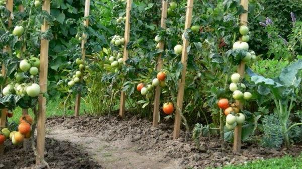 фітофтора на помідорах народні методи