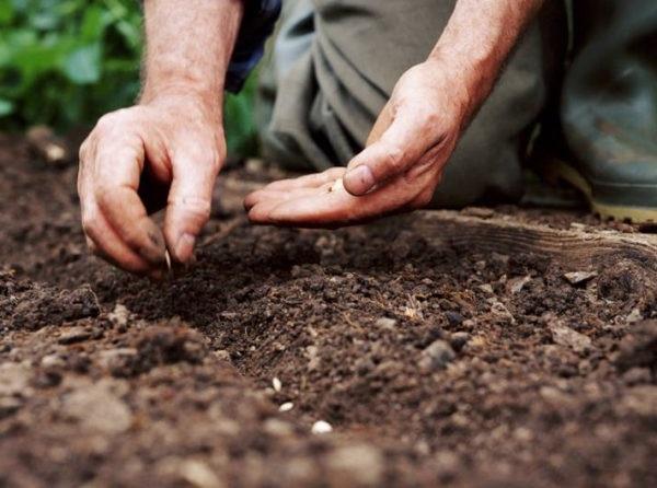 вирощування огірків у відкритому грунті