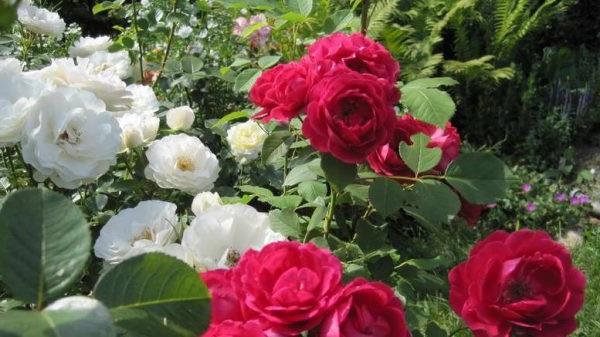 догляд за розами весною