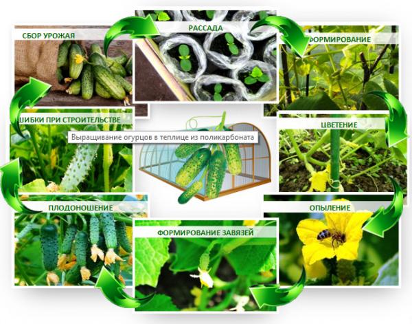 огірки вирощування в теплиці