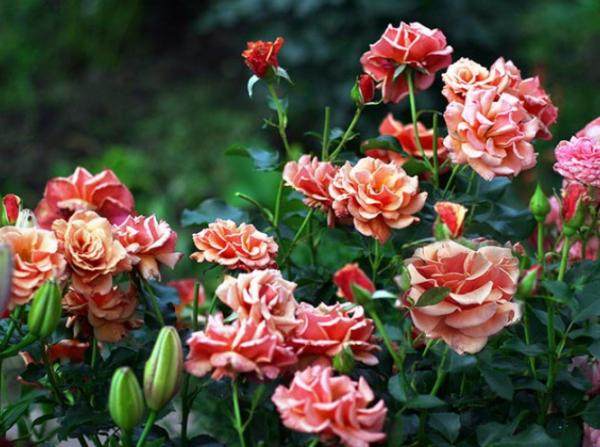 Троянди флорибунда