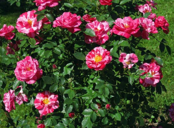 Чайно-гібридні троянди