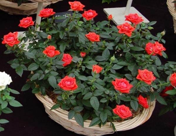 Мініатюрні троянди