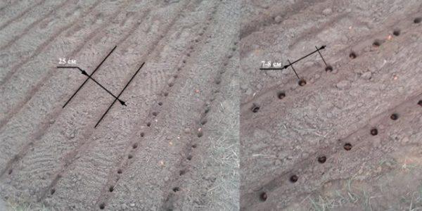 Схема посадки цибулі