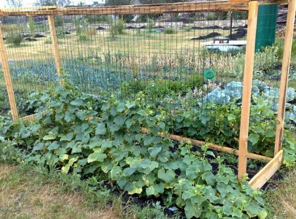 вирощування огірків на шпалерах