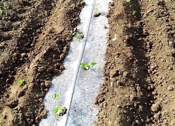 як садити кавуни