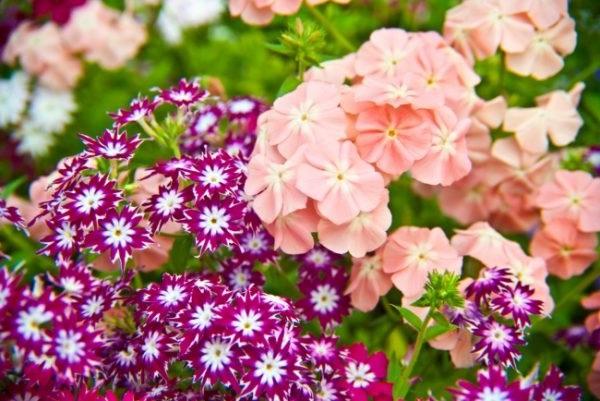 флокси багаторічні квіти