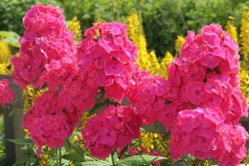 флокси рожеві