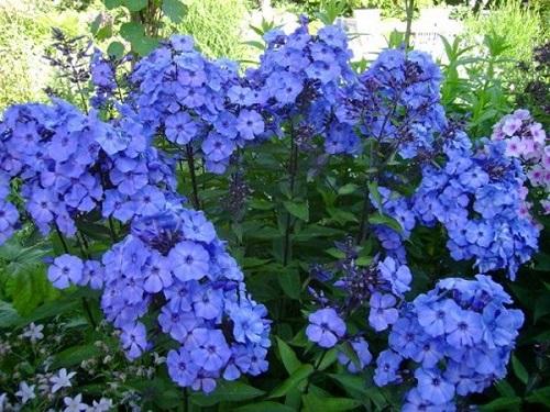 флокси квіти