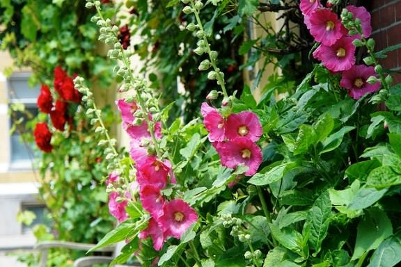 Шток-троянда
