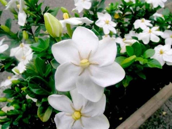 Як цвіте гарденія