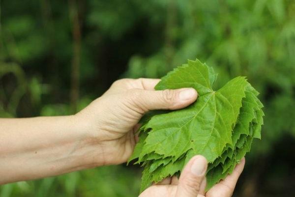 Виноградне листя варто відбирати