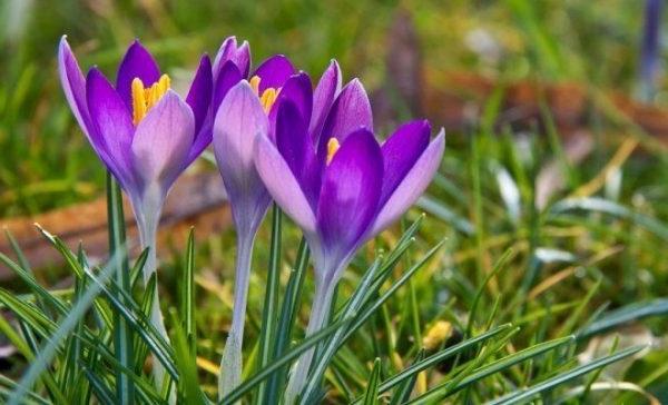 квітка крокус