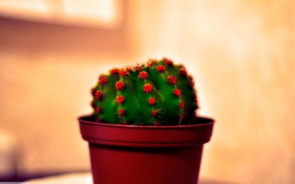 як доглядати за кактусами