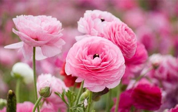 квітка ранункулюс