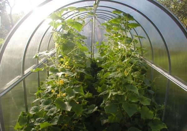 вирощування огірків в теплиці