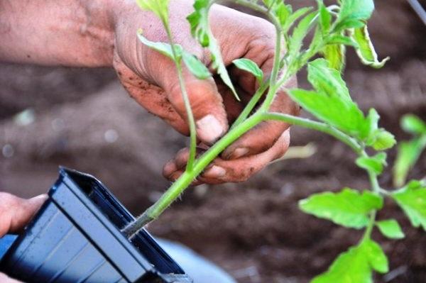 Пікіровка розсади помідорів
