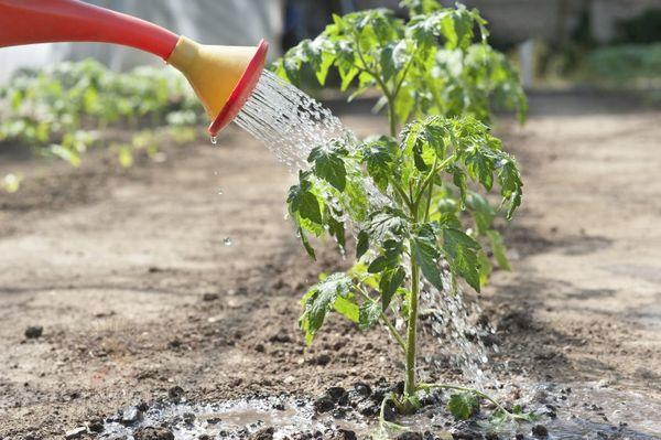вирощування помідорів у відкритому грунті
