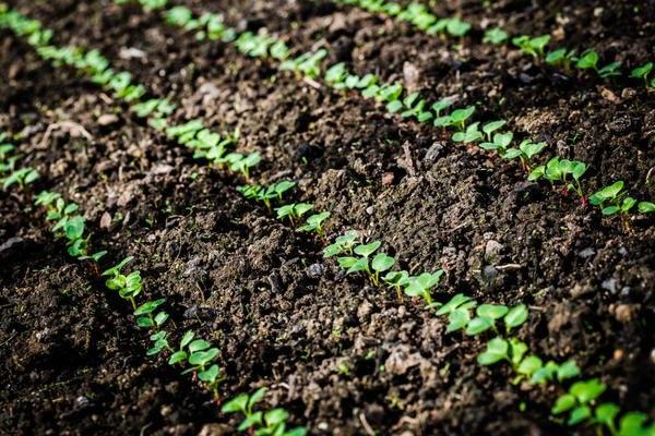 вирощування редиски