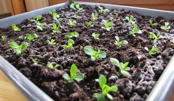 вирощування примули з насіння