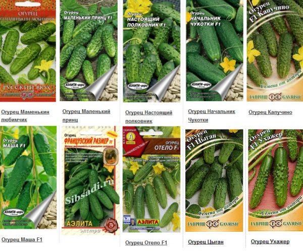 як правильно садити огірки