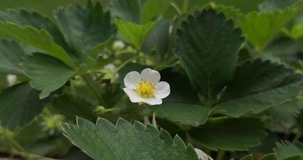 полуниця цвітіння