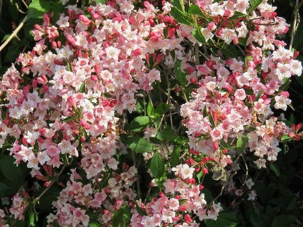 вейгела квіти