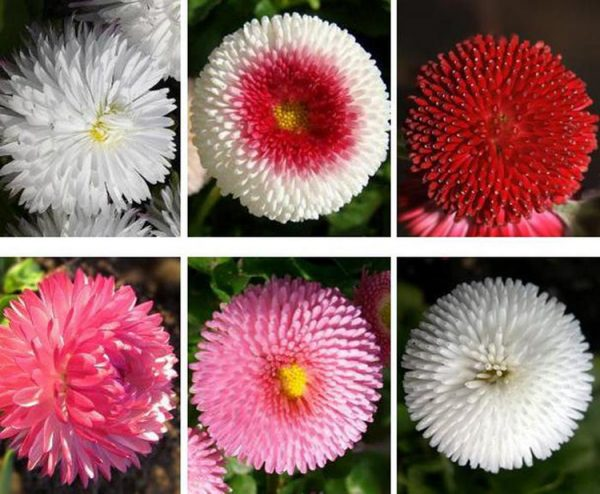маргаритки квіти