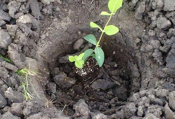 жимолость їстівна вирощування