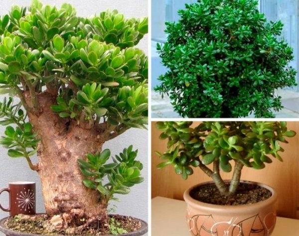 дерево щастя вазон вирощування