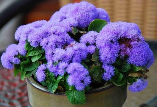 агератум квіти