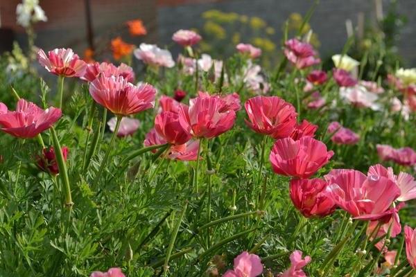 Ешольція рожева