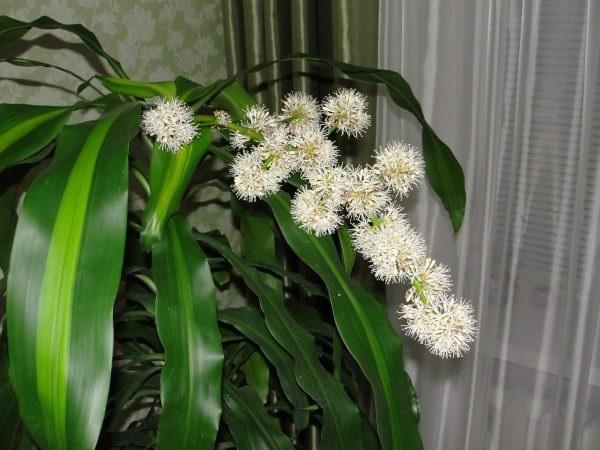 цвітіння драцени