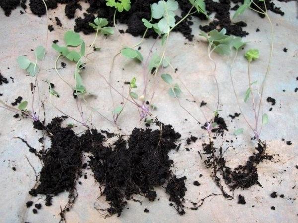 аквілегія вирощування