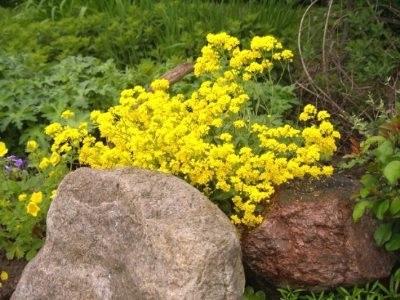 Жовтий аліссум