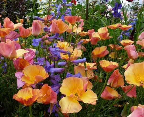 ешоліція квіти