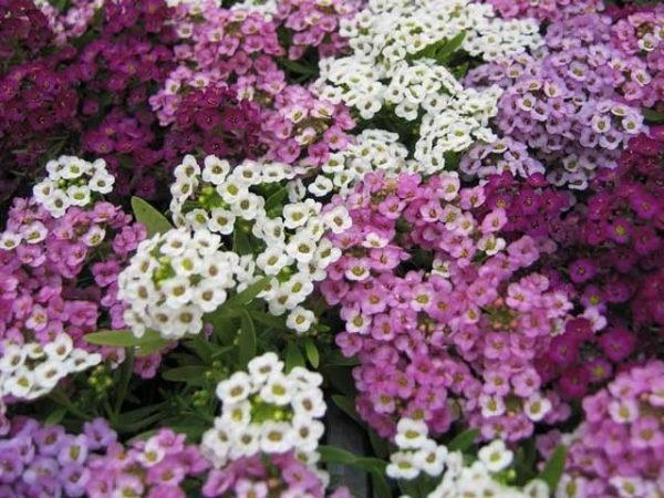 аліссум квіти