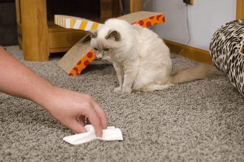 як вивести запах котячої сечі