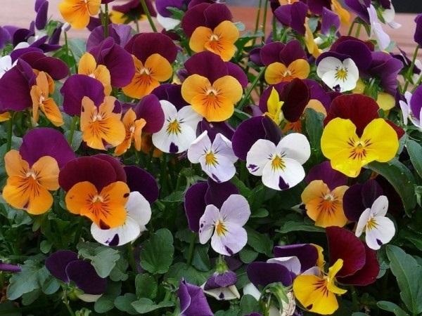 віола квіти
