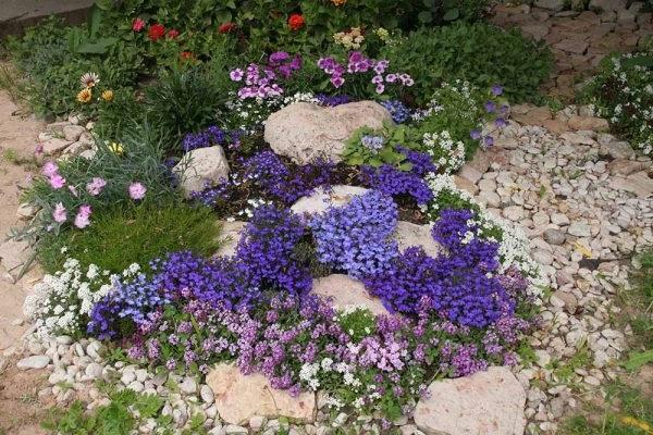Лобелія квіти